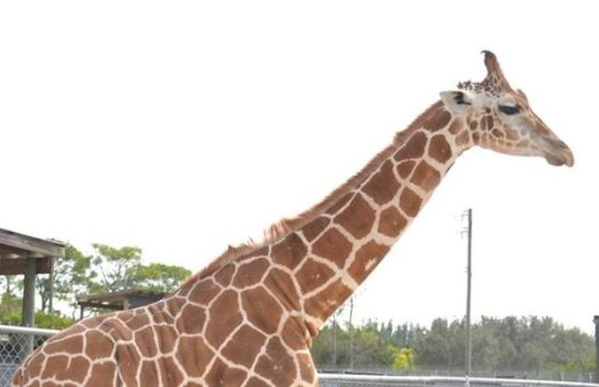 Two giraffes killed by 'billion-to-one' lightning strike at Florida wildlife park